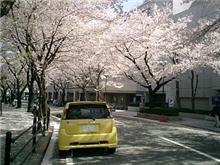 すでに桜が散っとる(涙)