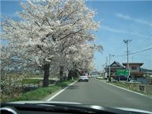 まだ・・・桜