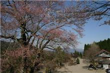 まだつぼみの桜