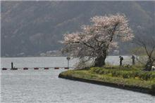 湖北の桜は満開 余呉湖へ