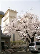 桜がキレイです~♪