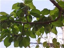 梅の実が鈴なり