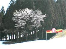 雪の上に咲く桜