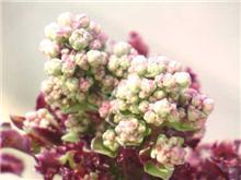レタスの花