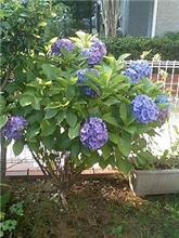 紫陽花2 (#151)