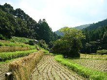 稲刈りの季節だね(俺の地元では・・)