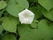 白いのが咲きました