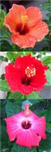 我が家の花 061013;ハイビ編