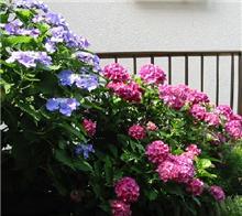2色紫陽花