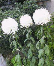 キラリ昔を思い出す花