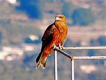 鷹ですよ、皆さん鷹を見るんですよ、夢で!このブログをしっかり眼に焼き付けてください