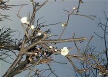 咲きましたね!梅
