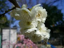 名古屋も春です~梅見頃