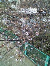 川沿いの桜並木・・・