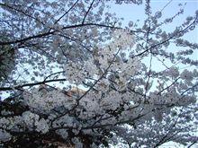 桜綺麗ですね!
