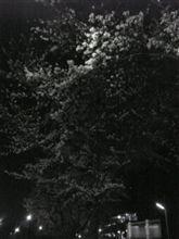 夜桜、なんですが・・・。