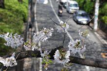さくら坂‥昨年は3月25日に満開でした。