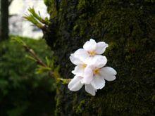 昨日、福井の桜開花を発表!