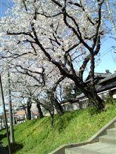 葛飾の神社の桜2
