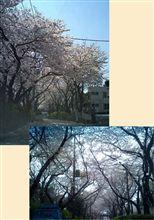 満開 さくら坂の桜が満開になりました。
