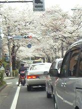 桜並木~!!