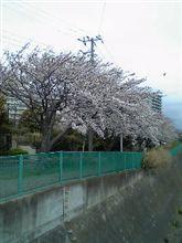 桜が満開・・・☆