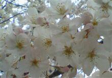桜で~す(*゚ー゚*)ポッ