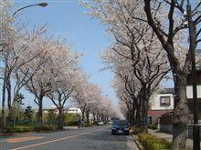 近所の桜並木とレガシィ