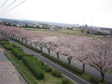 4/3今日の桜