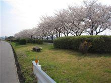 4/7今日の桜