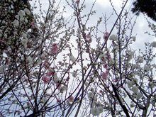 変わった桜???