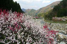月川温泉の花桃