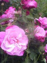 薔薇は美しい…。