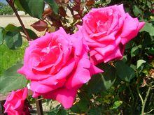 実家の花に魅せられて。