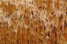 麦秋(その者蒼き衣をまといて金色の野に降り立つべし・・・)
