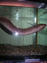 わが家の肺魚!