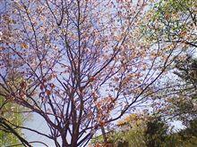 桜がそろそろ見納めです