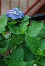 うちで紫陽花が数年ぶりに咲いたよ~