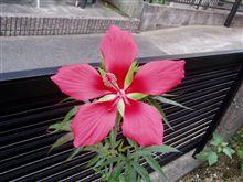 きれいな花!!(もみじあおい)