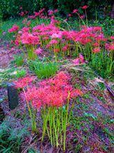 ♪彼岸花の季節に・・・