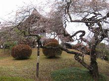 大晦日の桜・・・・