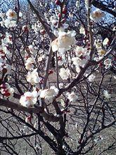 梅咲いていました(^o^)