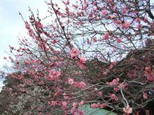 偕楽園は、3~5分咲き