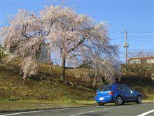 青空と枝垂桜も観賞しました