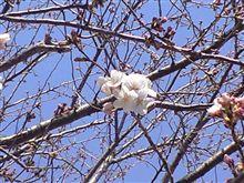 桜(^^)/