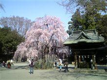 武蔵の国の古社の桜