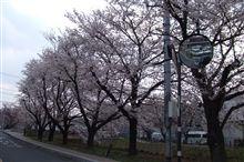桜、さくら、サクラ。。。