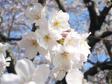 桜! さくら! SAKURA!