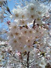 また脱線→花と餃子とスギ花粉