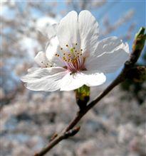 さくら・サクラ・桜♪ (酒の入らない~お花見w )